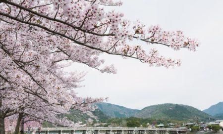 100 天然 の 桜 染め は 桜の どの 部分 で 作 られる